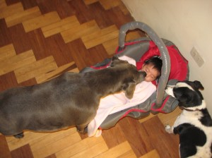 Baby kisses blue pitbull