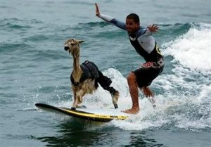 surfer with alpaca