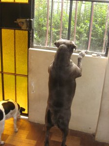Roxi and Manchita keeping a watchful eye outside