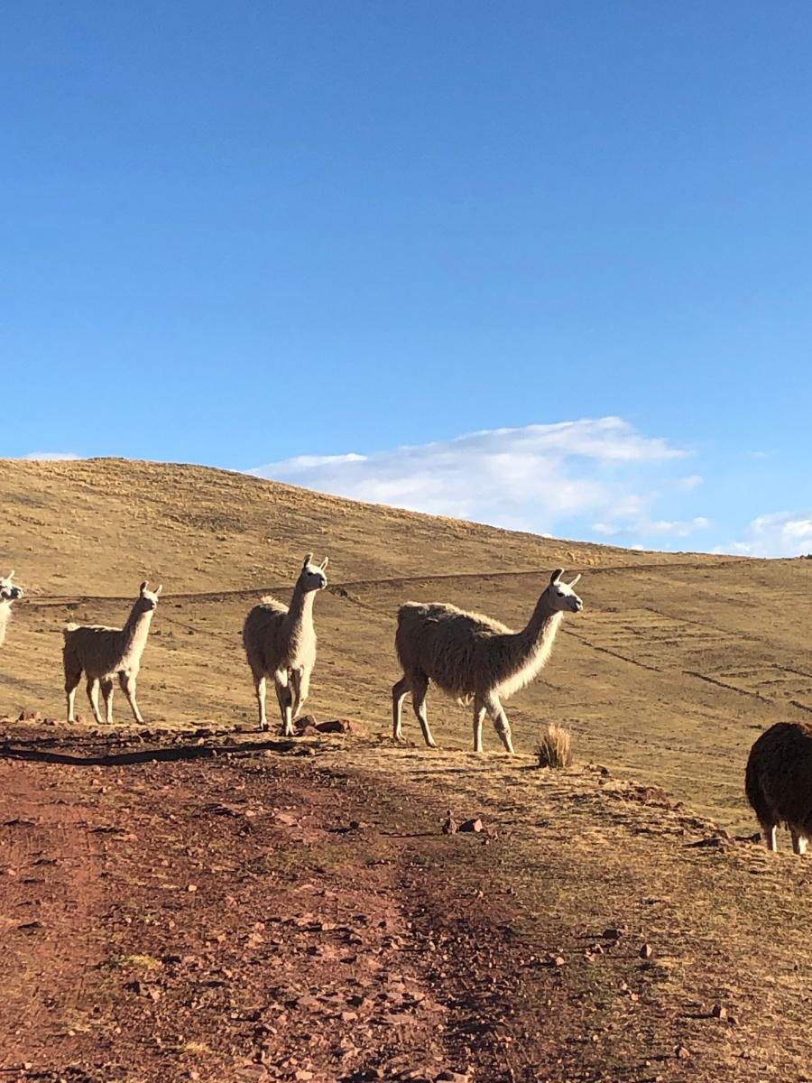 Llamas by laguna Qoricocha